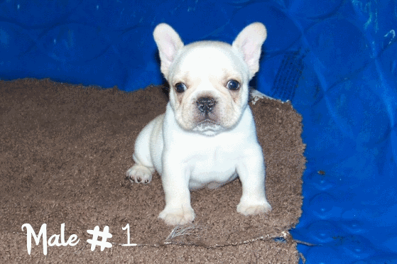 bull run kennel - puppies available